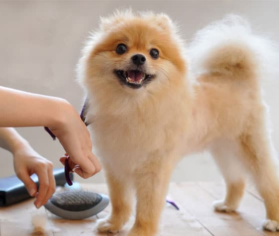 Small dog being groomed