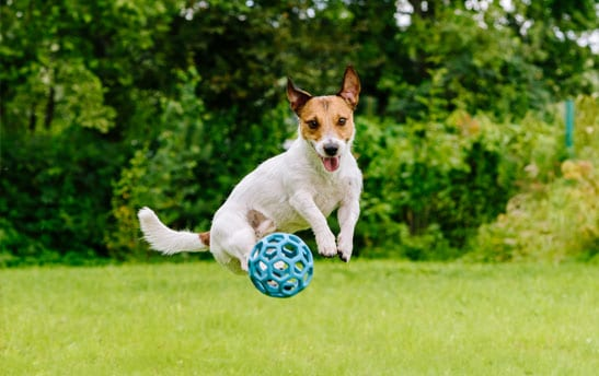 Small dog jumping for a ball